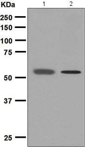 Western blot - Anti-PIAS2 antibody [EPR2582(2)] - BSA and Azide free (ab248123)