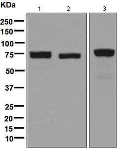Western blot - Anti-LPP antibody [EPR6478] - BSA and Azide free (ab248124)