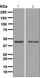 Western blot - Anti-PDCD2 antibody [EPR7159] - BSA and Azide free (ab248126)