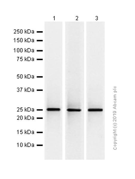 Western blot - Anti-UCHL3 antibody [EP5331] - BSA and Azide free (ab248130)