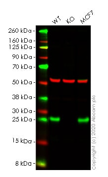 Western blot - Anti-RALA antibody [EPR6468] - BSA and Azide free (ab248134)