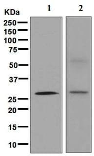 Western blot - Anti-Cdx1 antibody [EPR4819(2)] - BSA and Azide free (ab248164)