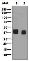Western blot - Anti-OIF antibody [EPR6963] - BSA and Azide free (ab248165)