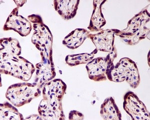 Immunohistochemistry (Formalin/PFA-fixed paraffin-embedded sections) - Anti-FOXO4/AFX antibody [EPR2150(3)] - BSA and Azide free (ab248170)