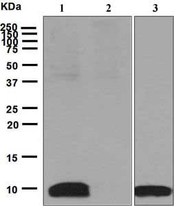 Western blot - Anti-CXCL5 antibody [EPR4450(2)] - BSA and Azide free (ab248173)