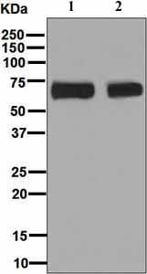 Western blot - Anti-Themis antibody [EPR7353] - BSA and Azide free (ab248177)