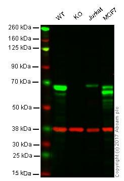 Western blot - Anti-SPAK antibody [EPR6394] - BSA and Azide free (ab248204)