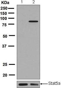 Western blot - Anti-STAT5a (phospho S726) antibody [EPR1914(2)] - BSA and Azide free (ab248206)