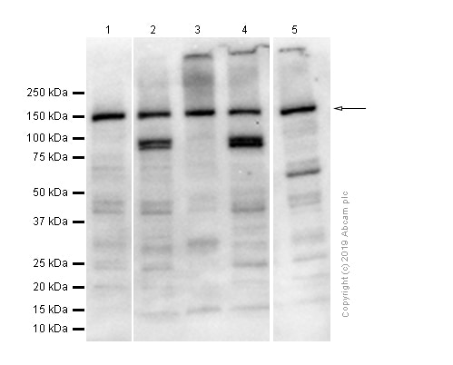 Western blot - Anti-VPS15 antibody [EPR5302(2)] - BSA and Azide free (ab248210)