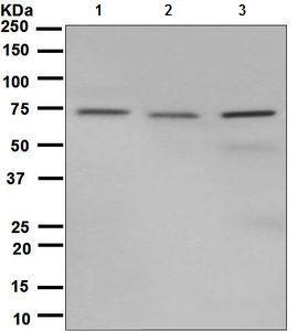 Western blot - Anti-Hsp75 antibody [EPR5382] - BSA and Azide free (ab248218)