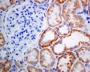 Immunohistochemistry (Formalin/PFA-fixed paraffin-embedded sections) - Anti-ACAA2 antibody [EPR6732(2)] - BSA and Azide free (ab248228)