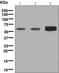 Western blot - Anti-RGS6 antibody [EPR6342] - BSA and Azide free (ab248237)