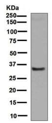 Western blot - Anti-Alpha 1 microglobulin antibody [EPR5880] - BSA and Azide free (ab248270)