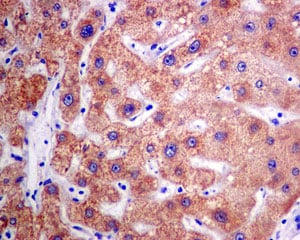 Immunohistochemistry (Formalin/PFA-fixed paraffin-embedded sections) - Anti-Sulfite oxidase antibody [EPR7618] - BSA and Azide free (ab248296)