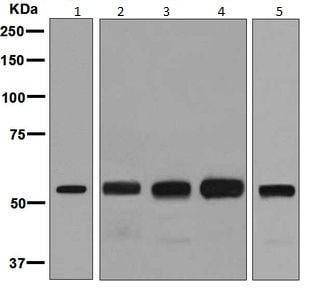 Western blot - Anti-IMPDH2 antibody [EPR8365(B)] - BSA and Azide free (ab248323)