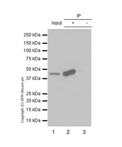 Immunoprecipitation - Anti-MAT1A antibody [EPR7938] - BSA and Azide free (ab248332)