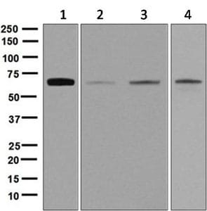 Western blot - Anti-Nucleostemin antibody [EPR3911(2)] - BSA and Azide free (ab248337)