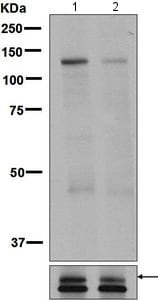 Western blot - Anti-ULK1 (phospho S623) antibody [EPR6154] - BSA and Azide free (ab248371)