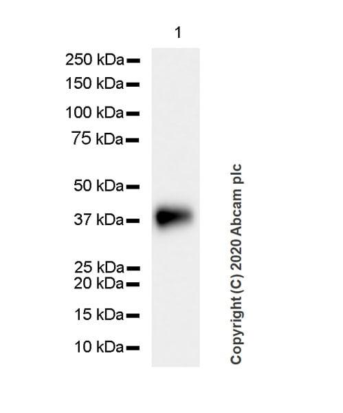 Western blot - Anti-Podoplanin / gp36 antibody [PMab-1] (ab256559)