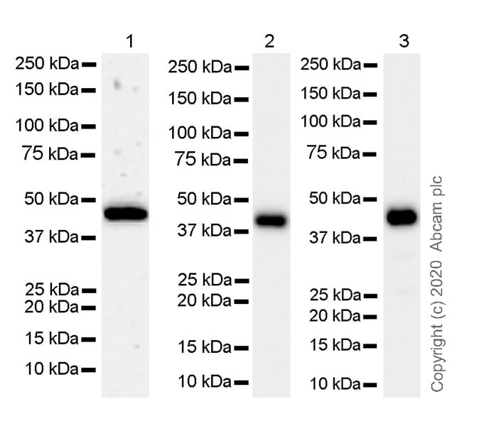 Western blot - Anti-IDH1 antibody [RcMab-1] - BSA and Azide free (ab256562)