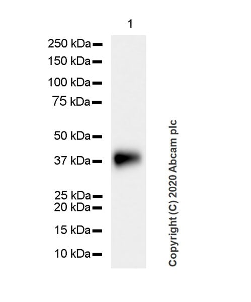 Western blot - Anti-Podoplanin / gp36 antibody [PMab-1] - BSA and Azide free (ab256564)