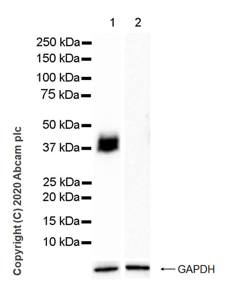 Western blot - Anti-Podoplanin / gp36 antibody [LpMab-7] - BSA and Azide free (ab256566)