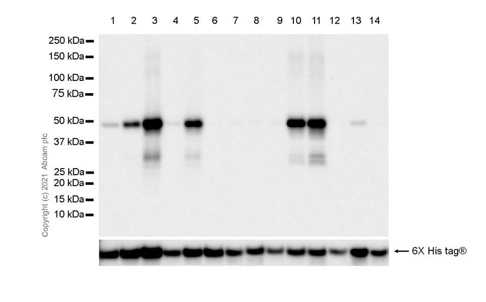 Western blot - Anti-IDH1 (mutated R132G) + IDH2 (mutated R172G) antibody [MsMab-1] - BSA and Azide free (ab264085)