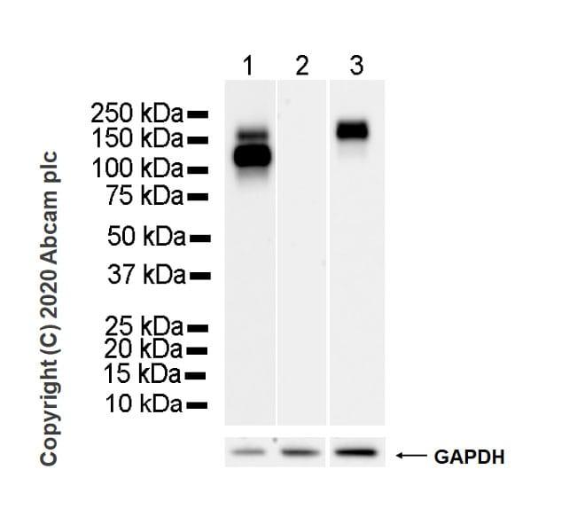 Western blot - Anti-EGFR antibody [EMab-134] - BSA and Azide free (ab264547)
