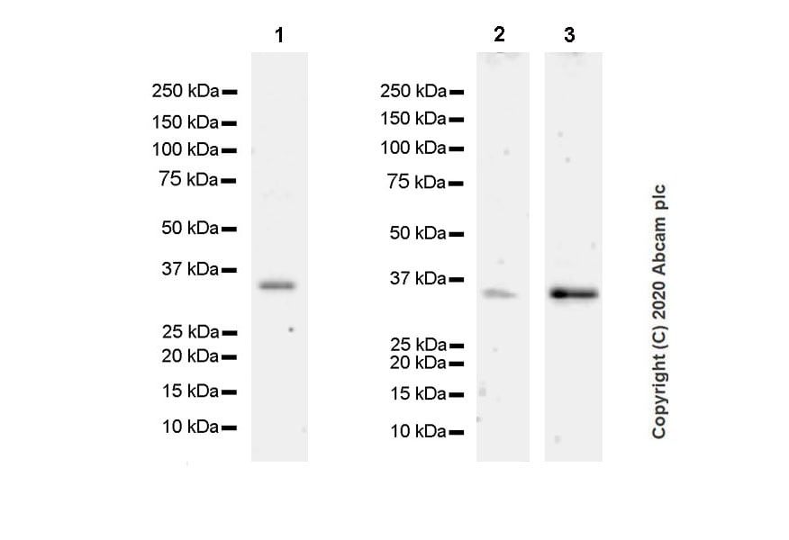 Western blot - Anti-Annexin-2/ANXA2 antibody [D1/274.5] - BSA and Azide free (ab269512)