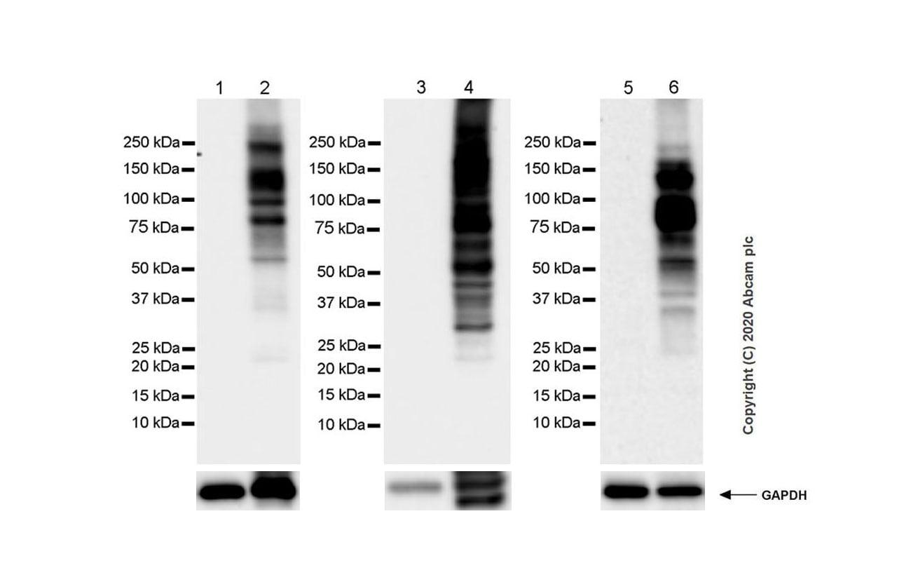 Western blot - Anti-Phosphotyrosine antibody [Py72] (ab269515)