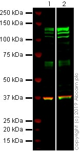 Western blot - Anti-SREBP1 antibody [2A4] - BSA and Azide free (ab269577)