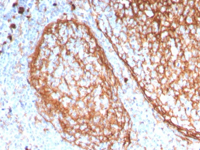 Immunohistochemistry (Formalin/PFA-fixed paraffin-embedded sections) - Anti-CD11b antibody [ITGAM/3338] - BSA and Azide free (ab269686)