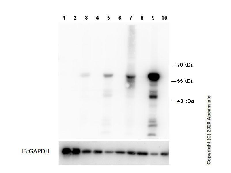 Western blot - Anti-GSDMC2+GSDMC3 antibody [EPR20890-48] - BSA and Azide free (ab269859)