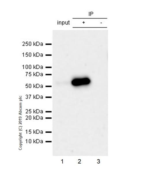 Immunoprecipitation - Anti-Peripherin antibody [EPR23445-28] - BSA and Azide free (ab269861)