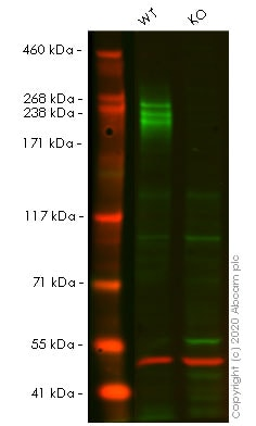 Western blot - Anti-PODXL antibody [EPR9518] - BSA and Azide free (ab269888)