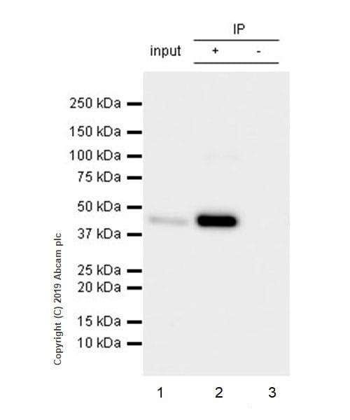 Immunoprecipitation - Anti-Homer1 antibody [EPR23178-35] - BSA and Azide free (ab269952)