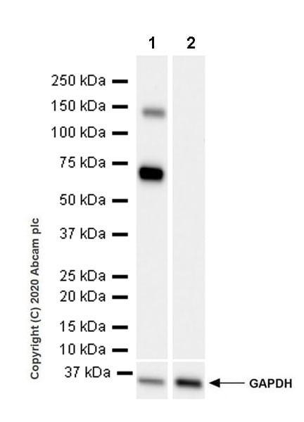 Western blot - Anti-ALPPL2 antibody [EPR20905-21] - BSA and Azide free (ab269957)