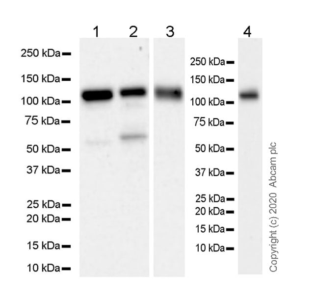 Western blot - Anti-USP16 antibody [EPR20914-47] - BSA and Azide free (ab269961)