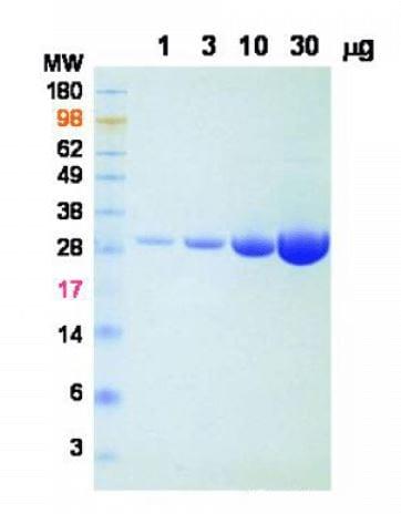 RIP - BaseMuncher Endonuclease (ab270049)