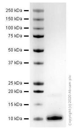 SDS-PAGE - Recombinant mouse SDF1 protein (ab270067)