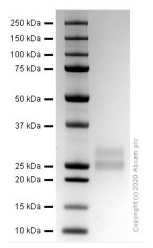 SDS-PAGE - Recombinant mouse Flt3 ligand/Flt3L protein (ab270071)