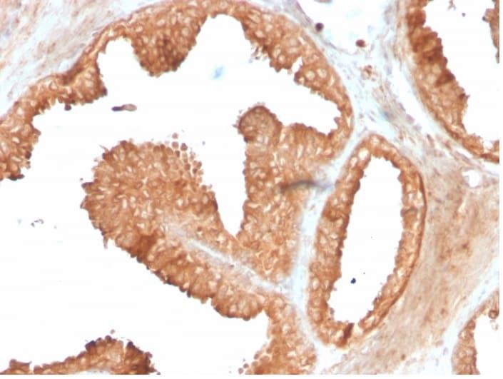 Immunohistochemistry (Formalin/PFA-fixed paraffin-embedded sections) - Anti-Ornithine Decarboxylase/ODC antibody [ODC1/3636R] (ab270300)