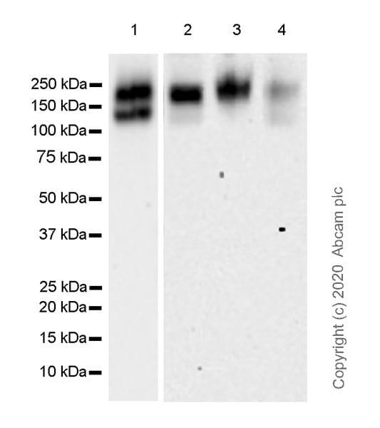 Western blot - Anti-MERTK antibody [EPR23248-259] (ab270448)