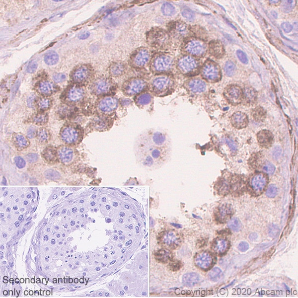 Immunohistochemistry (Formalin/PFA-fixed paraffin-embedded sections) - Anti-Dhh antibody [EPR23386-212] (ab270453)