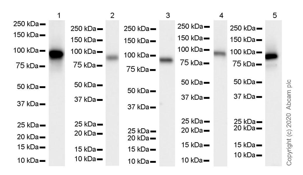 Western blot - Anti-HIF1 beta antibody [EPR23106-151] (ab270520)