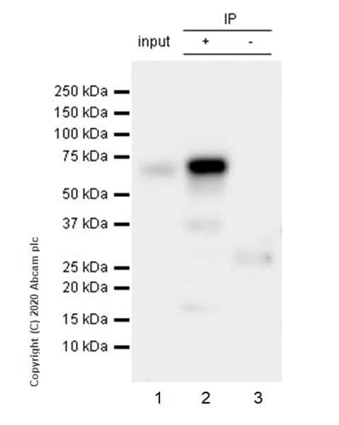 Immunoprecipitation - Anti-TFEB antibody [EPR22940-151] (ab270604)