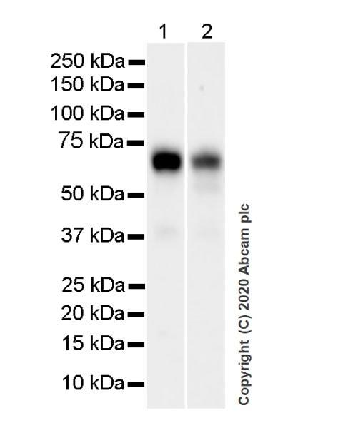 Western blot - Anti-TFEB antibody [EPR22940-151] (ab270604)