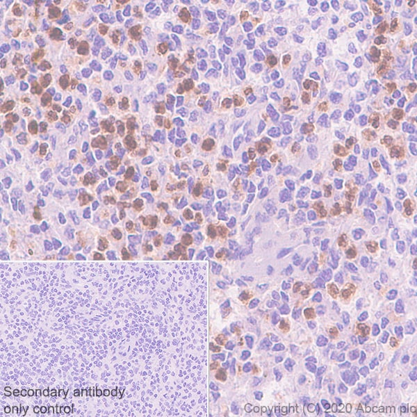 Immunohistochemistry (Formalin/PFA-fixed paraffin-embedded sections) - Anti-PR3 antibody [EPR23253-35] - BSA and Azide free (ab270610)