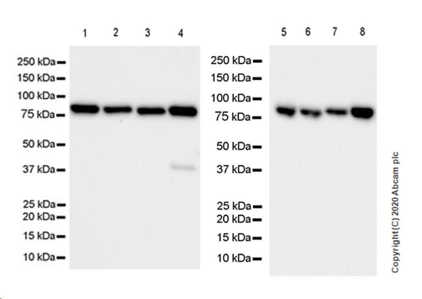 Western blot - Anti-SEC23B + SEC23A antibody [EPR22723-102] (ab270750)