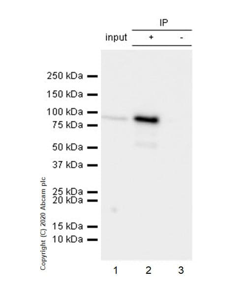 Immunoprecipitation - Anti-SEC23B antibody [EPR22723-24] - BSA and Azide free (ab270756)